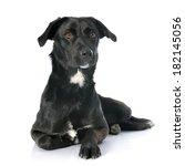 Crossbred Labrador Retriever In ...