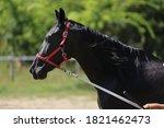 Beautiful Young Purebred  Black ...