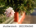 Pale Pink Nerium Flowers In A...