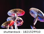 Small photo of The Mexican magic mushroom is a psilocybe cubensis, whose main active elements are psilocybin and psilocin - Mexican Psilocybe Cubensis. An adult mushroom raining spores