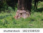 Alien Tree Girdled At The Base