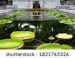Giant Lily Pads Floating On To...