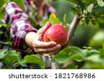 Farmer Picking Red Apple From...