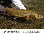 Threatened Bull Trout being released back into its native waters in the Rocky Mountain region of Alberta