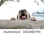 Anatolian Sheppard Dog Sivas...
