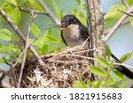 An Eastern Kingbird Feeding A...