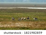 Greylag Goose Flock Playing In...