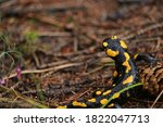 Spotted Salamander During A...
