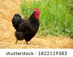 Chicken Have Red Comb. Black...