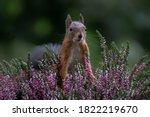 Eurasian Red Squirrel  Sciurus...