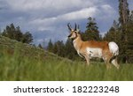 Pronghorn Antelope  Antilocapr...