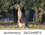 Kangaroos In The Forest Country ...