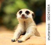 Meerkat In Open Zoo Of Thailan...
