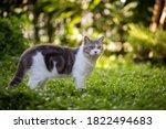 Scottish Fold Cat Are Standing...