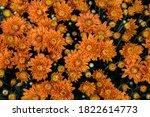 Colorful Garden Chrysanthemums...
