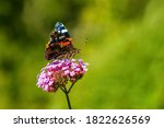 Side View Of Red Admiral...