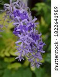The Purple Flowers Bloom In A...