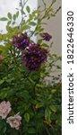 Verbena In The Garden Under Th...