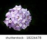 Purple Flower On  Black...