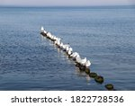 Seagulls In A Row On The Baltic ...
