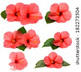 collection hibiscus with leaves ... | Shutterstock . vector #182273504