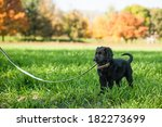 Stock photo young retriever puppy on a leash 182273699