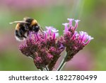 Close Up Of A Bumblebee...