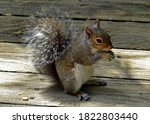 Portrait Of A Squirrel Eating A ...