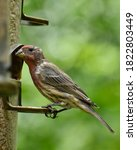 Male House Finch At A Seed...