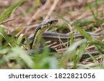 Garter Snake Hiding in the Grass Horicon Marsh Wisconsin