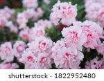 Pink Rhododendron Flowers On...