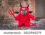 French bulldog dog with red...