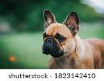French Bulldog Posing Outside...
