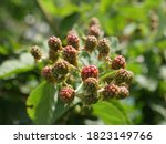 Colorful Ripening Fruits From...