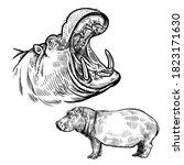 Hippopotamus In Profile And...