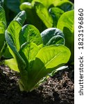 Small photo of young lettuce growing on a garden allotment in compost, backlit by the morning sun selective focus with a blurred background for copy space