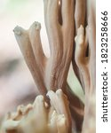 Ramaria Coral Fungi In The...