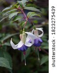 A Semi Trailing Fuchsia In A...