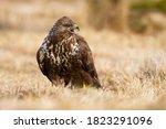 Fierce Common Buzzard  Buteo...