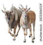Male And Female Eland Antelope...