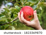 Hand Picking Red Apple. Woman...