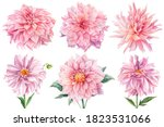 Pink Dahlias Isolated White...