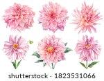 Pink Dahlias Isolated White...
