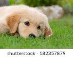 A Cute Golden Retriever Puppy...