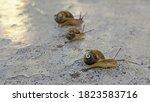 Three Juvenile Garden Snails...