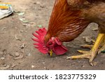 Close Up Portrait Of Rooster...