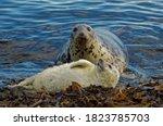 Grey Seal   Halichoerus Grypus  ...