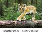 Little Ussuri Tiger In The Wil...