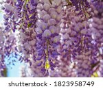 Blooming Violet Wisteria...