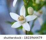 Citrus Aurantium Small White...